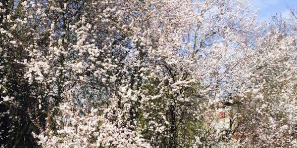 arbres-en-fleur